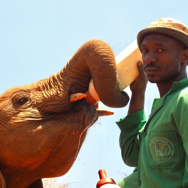 Caring for orphaned elephants